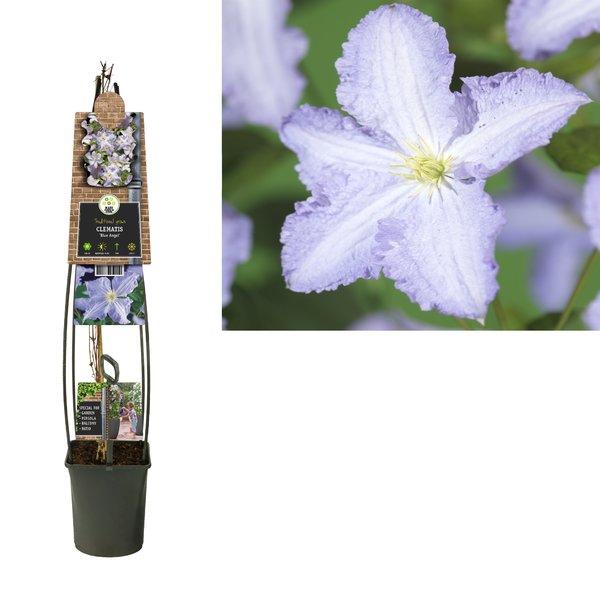 Clematis Plantes grimpantes - à grandes fleurs - pot 23 cm
