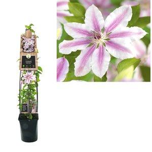 Clematis Climbing plants - large-flowered - pot 23 cm