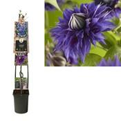 Clematis Klimplanten  - grootbloemig - pot 23 cm