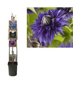 Plantes grimpantes - à grandes fleurs - pot 23 cm