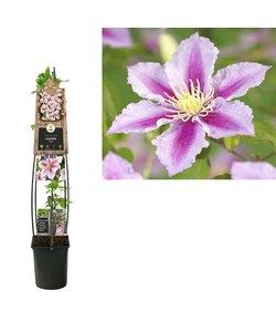 Climbing plants - large flowering - pot 23 cm