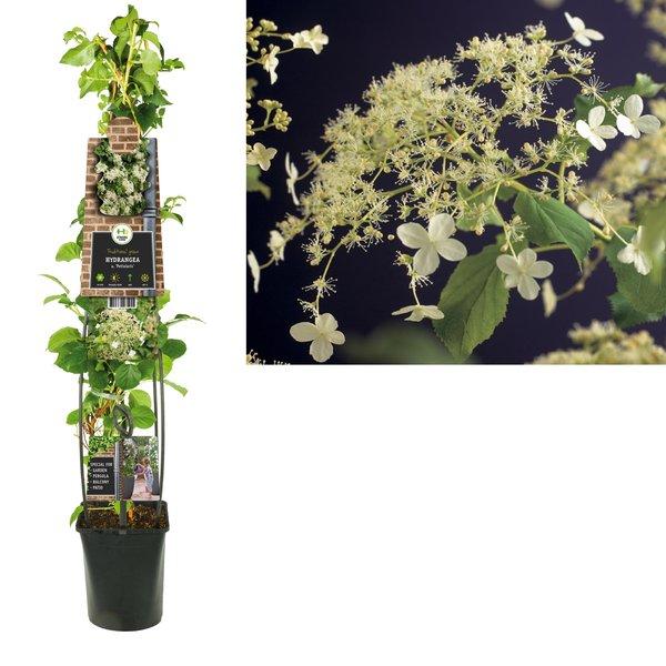 Hydrangea  a. petiolaris 3.0