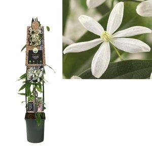 Clematis armandii 3.0 - evergreen