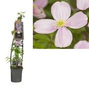 Clematis montana rubens 3.0 - small-flowered