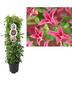 Plantes de patio XL
