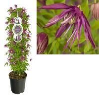 Clematis Terrace plants XL