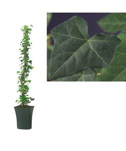 Hibernica - Klimplanten