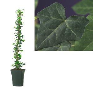 Hedera Hibernica - Klimplanten