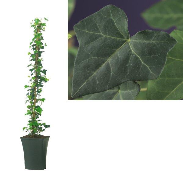 Hedera Hibernica - Kletterpflanzen