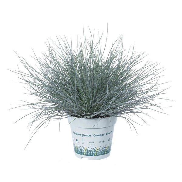 Gras Festuca glauca Compacta Blau