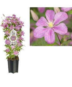 à grandes fleurs - pot 19 cm