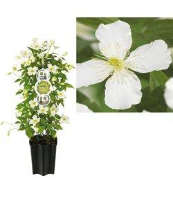 à petites fleurs - pot 19 cm