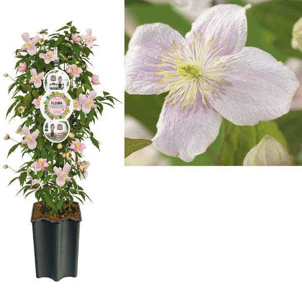 Clematis kleiner Blumentopf 19 cm