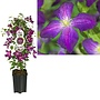 Clematis large flowered - pot 19 cm