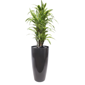 Dracaena Lemon Lime, ornamental pot + water meter L