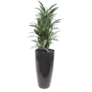 Dracaena warneckie pot + water meter L
