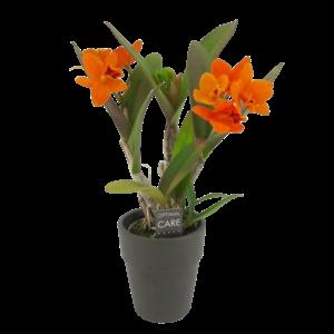 Orchideeën Cattleya small-flowered 2 branch golden boy