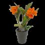 Orchideeën Cattleya kleinbloemig 2 tak golden boy