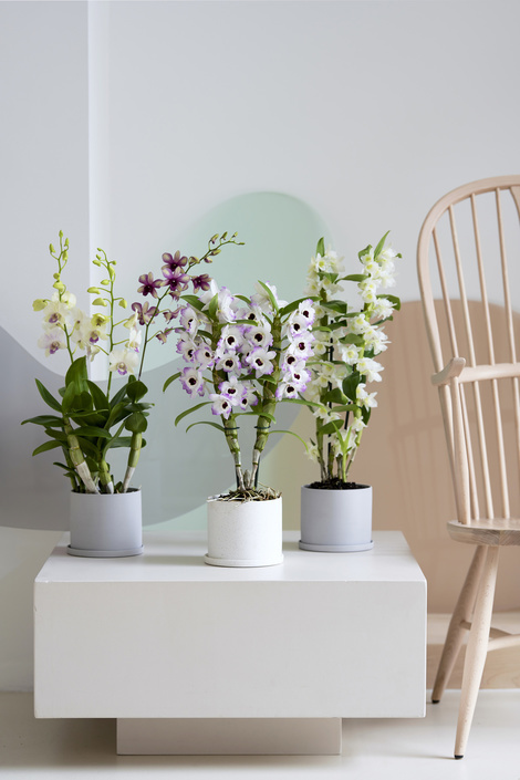 Dendrobium: houseplant of the month of march 2020