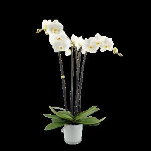 Phalaenopsis 4 branch fortuna branches in milk glass