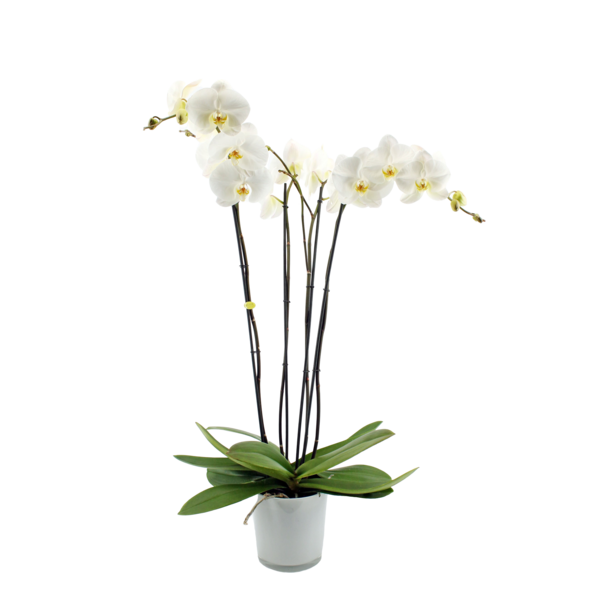 Phalaenopsis 4 branch fortuno branches in milk glass