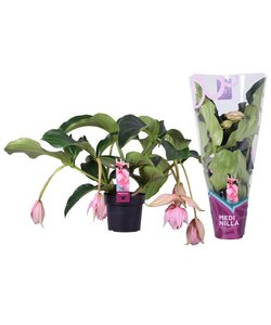 Magnifica met 6 knoppen in Cadeauhoes