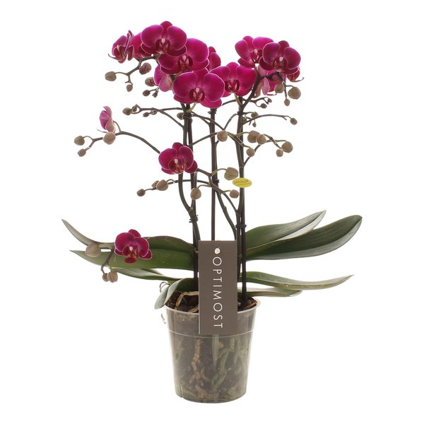 Phalaenopsis 3 Blumenzweige - Optimost