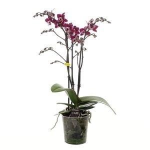 Phalaenopsis Nano 3 flower branches
