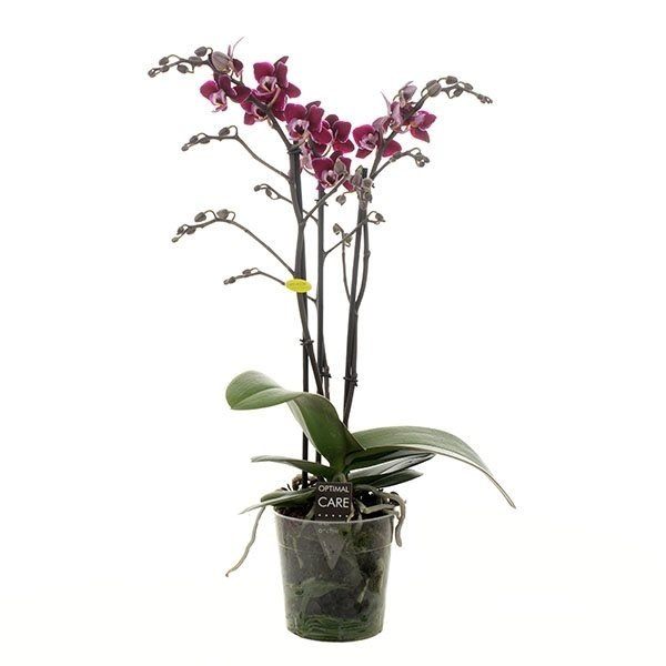 Phalaenopsis Nano 3 branches de fleurs