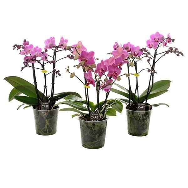 Phalaenopsis Rose 3 branches de fleurs