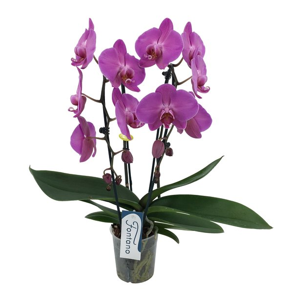 Phalaenopsis Fontano versailles