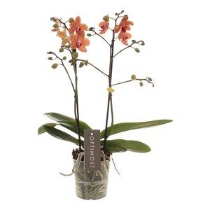 Phalaenopsis Sunset love