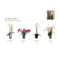 Phalaenopsis Giftbox Phalaenopsis - TOP quality - SUPER OFFER