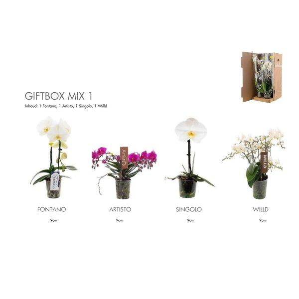Phalaenopsis Geschenkbox Phalaenopsis - TOP Qualität - SUPER ANGEBOT