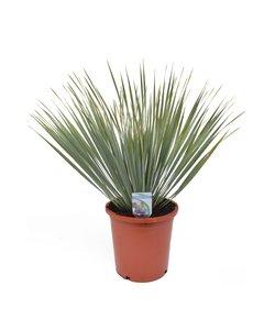 Rostrata - Palm Lily
