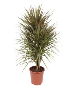 Marg. Bicolor branched - Dragon tree, Century plant