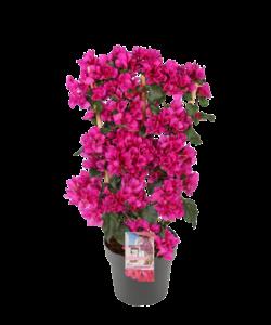 'Sanderiana' sur un pot de 21 cm