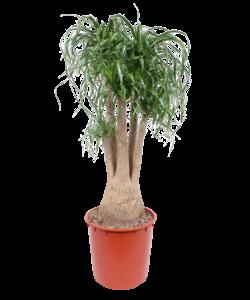 Recurvata Zweige 130 cm