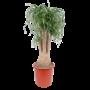 Beaucarnea  Recurvata vertakt 130 cm