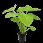 Xanthosoma Sagittifolium 'Lime'