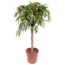 Ficus Amstel King on a nice thick stem.