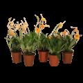 Orchideeën Masdevallia