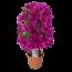 Bougainvillea Sanderiana sur le pot de rack 14 cm