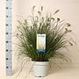 Gras Pennisetum alopecuroides