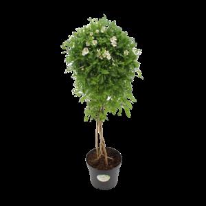 Solanum Charles blanc