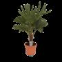 Eagle Palm Trachycarpus Fortunei