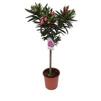 Mediterrane Planten Nerium Oleander - sur tige