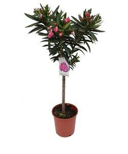 Nerium Oleander - on stem