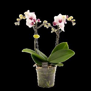 Phalaenopsis 2 branch lovette