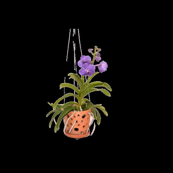 Vanda Terracotta pot